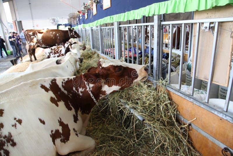 Vaches - Sydney Royal Easter Show image libre de droits