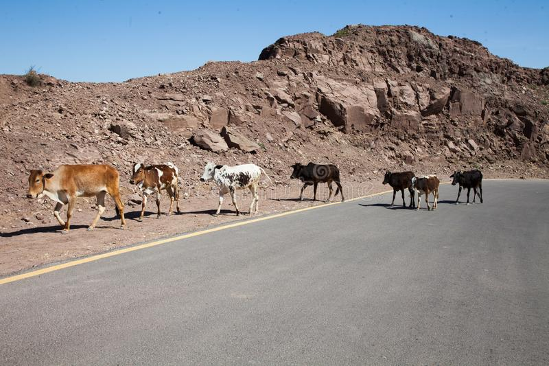 Vaches traversant la route photos libres de droits