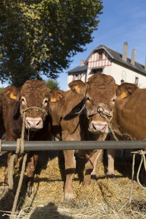 Vaches typiques du Limousin au march? photographie stock libre de droits