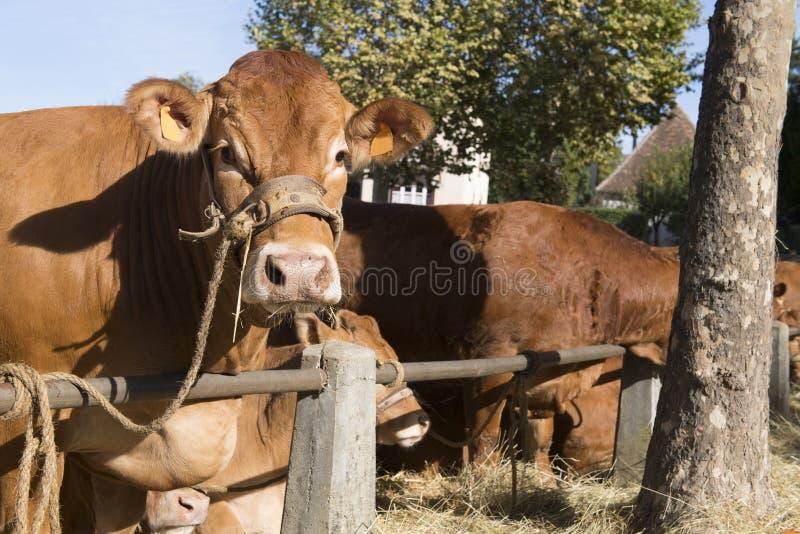 Vaches typiques du Limousin au march? image stock
