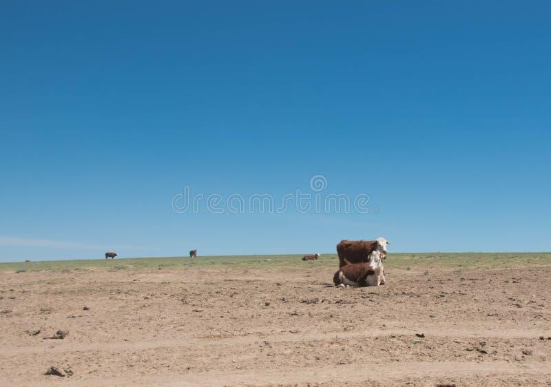 Vaches un jour dans la steppe contre le ciel bleu photographie stock libre de droits