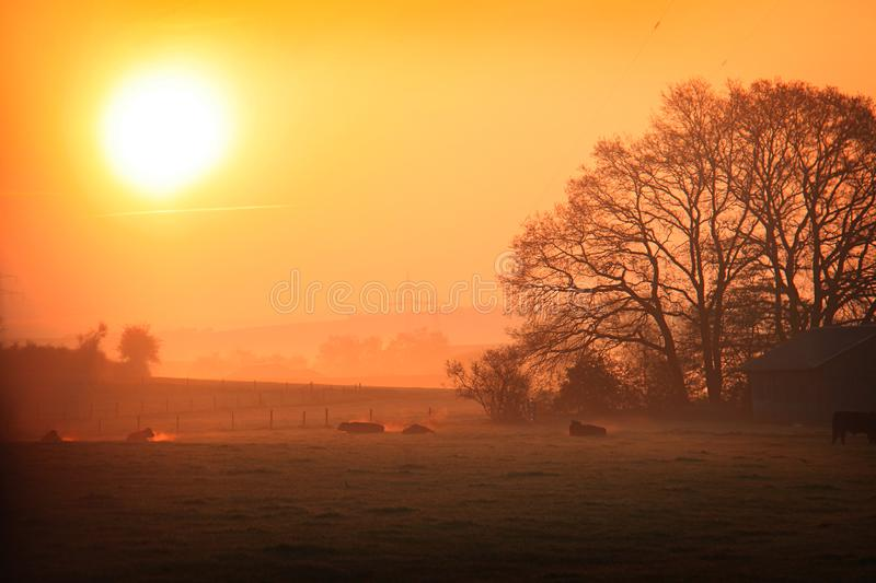 Vaches un matin brumeux froid photographie stock