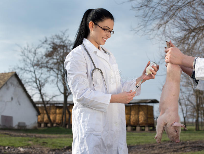 Vacinação do leitão na exploração agrícola fotografia de stock royalty free