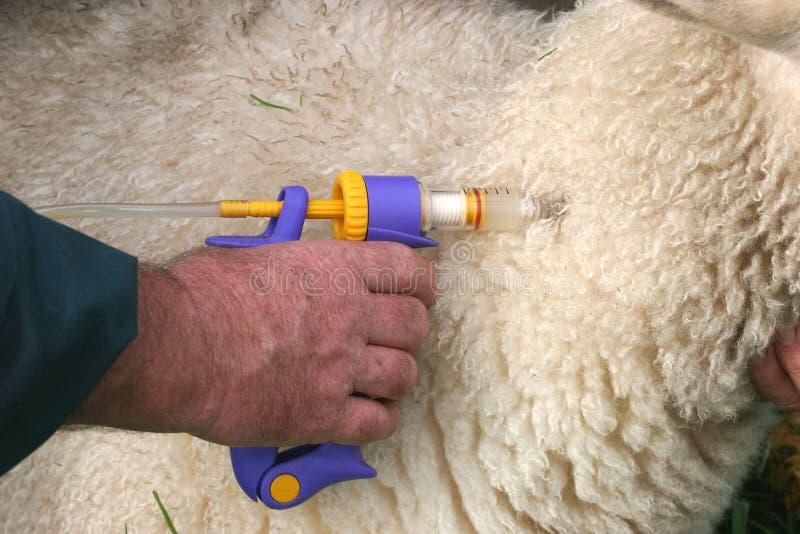 Vacinating una oveja foto de archivo