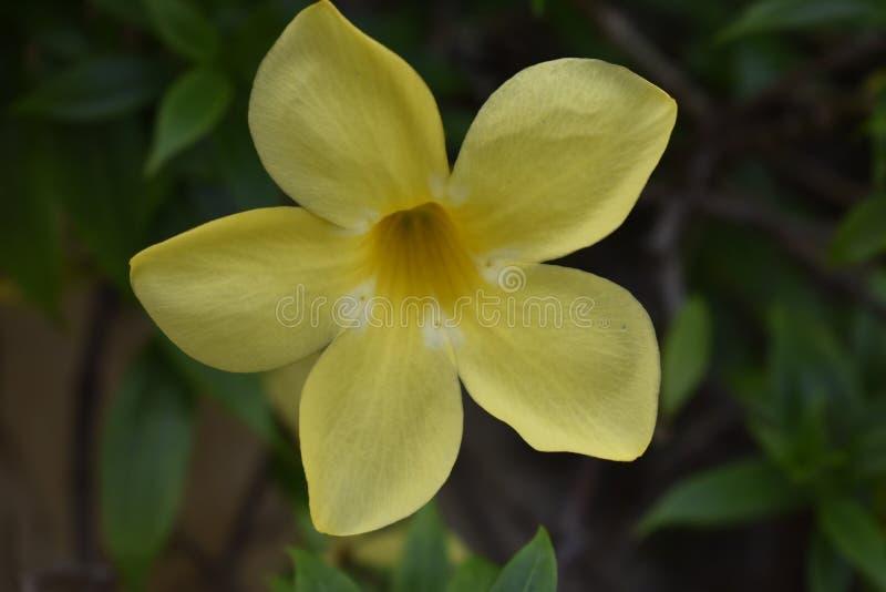 Vacker gul blomma i trädgården royaltyfria bilder