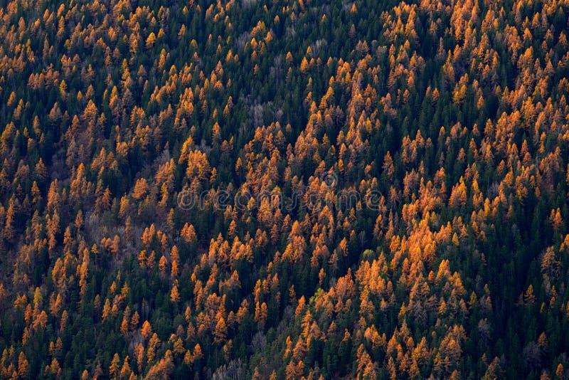 Vacker orange och röd höstskog, många träd på orangefärgade kullar, Schweiz i Alperna, Europa arkivfoto