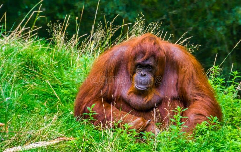 Vackra borneanorangutan i närheten, kritiskt utrotningshotade primatarter från Borneo royaltyfri bild