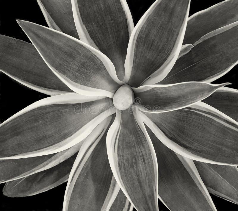 Vackra kaktujer på svart royaltyfri fotografi