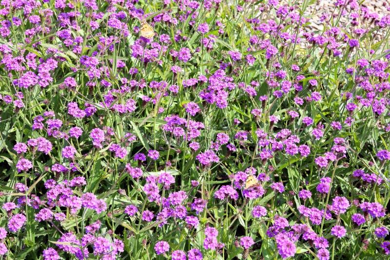 Vackra lila blomsterbädd som är attraktiv för fjärilar arkivfoton