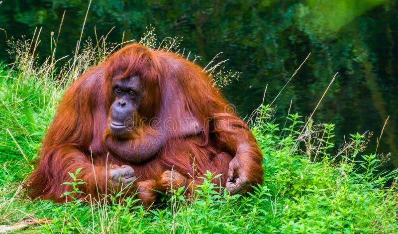 Vackra närporträtt av nordvästra borneanorangutan, kritiskt utrotningshotad primatart från bor arkivfoton