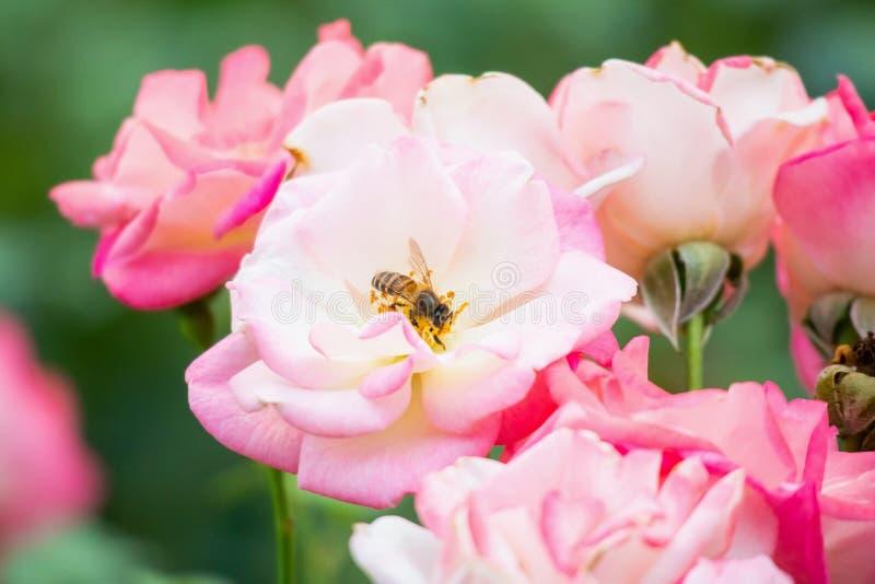 Vackra rosor blomma med bin i trädgården royaltyfria foton