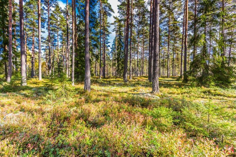 Vackra skogar i bergsområden i Sverige under hösten färger med vacker jordvegetation royaltyfri bild