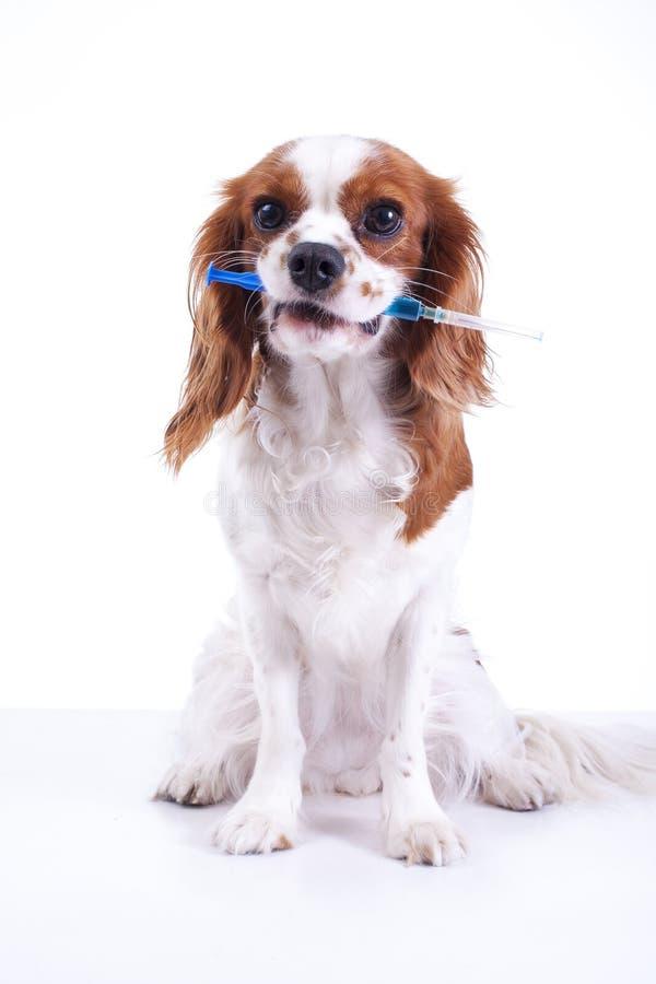 Vacunación del animal de animal doméstico del perro en jeringuilla Perro que lleva a cabo la vacunación de la jeringuilla imagen de archivo