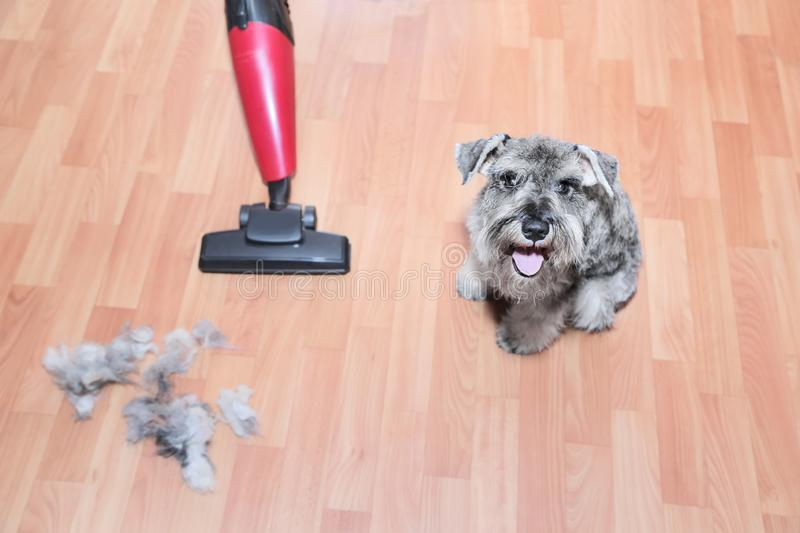 Vacuum cleaner, ball of wool hair of pet coat and schnauzer dog on the floor.   Shedding of pet hair, cleaning.  stock image