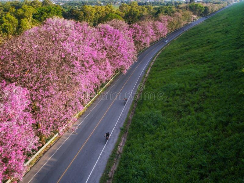 Vada in bicicletta la strada con flowe rosa nel lago Bangpra fotografia stock