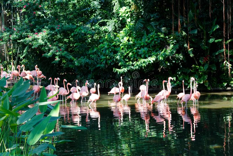 Vada rosa flamingofåglar royaltyfri fotografi