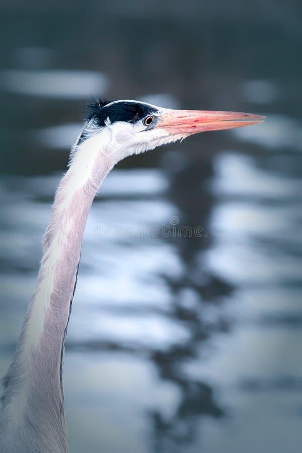 Vadande fågel för solnedgång Hägret håller ögonen på vattenkanten royaltyfria bilder