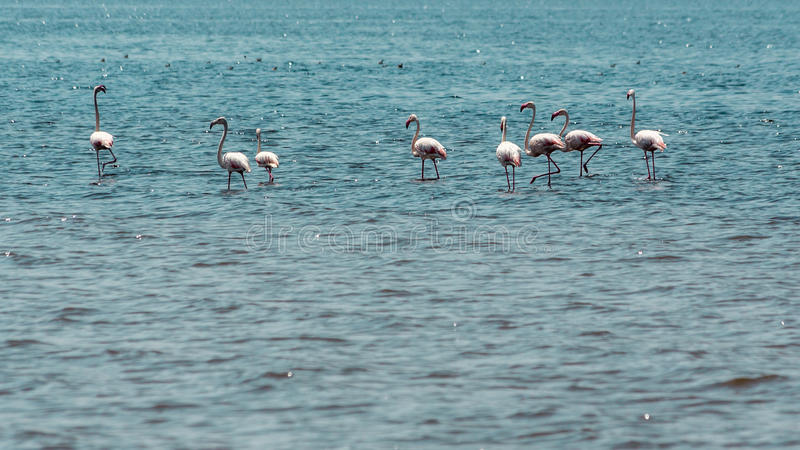 Vadande flamingo arkivfoto
