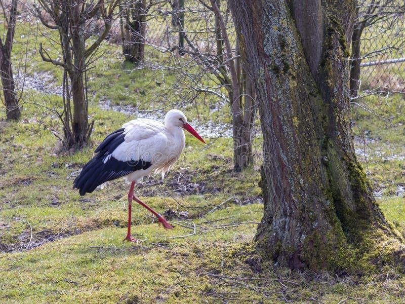 Vadande stork i en äng fotografering för bildbyråer