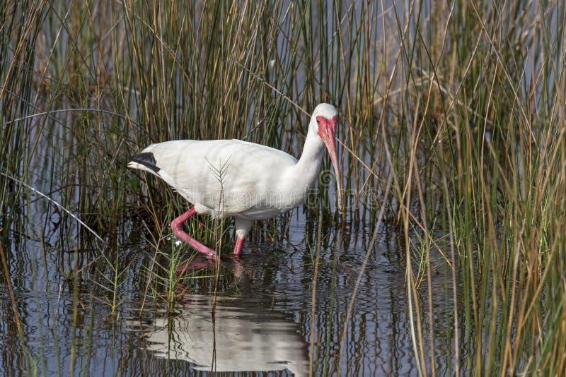 Vadande vit ibis arkivbild