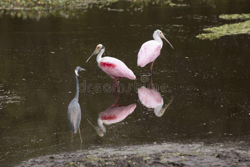 Vadandefåglar, med roseate spoonbills på Orlando Wetlands Park royaltyfri fotografi