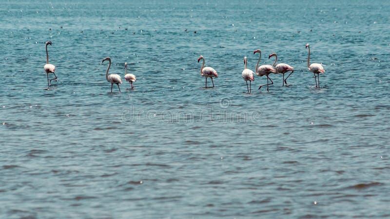 Vadeando flamingos foto de stock