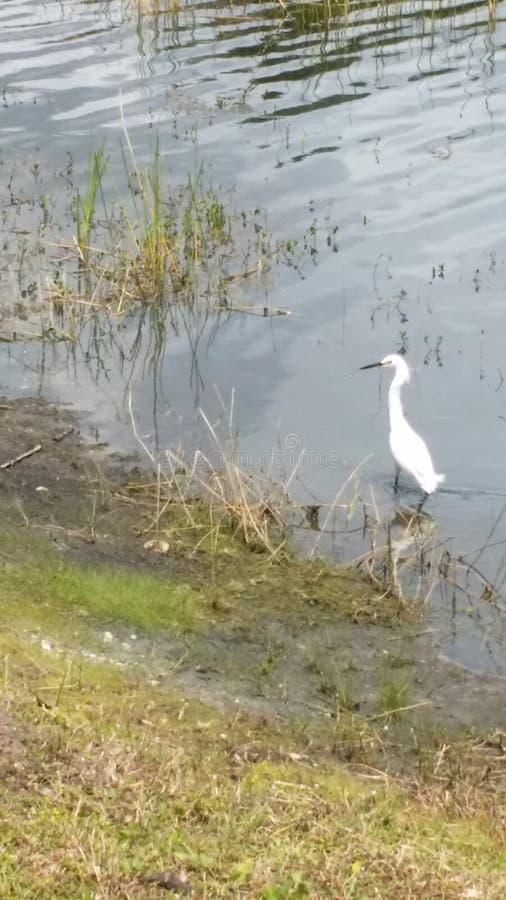 Vadear el Egret blanco imágenes de archivo libres de regalías