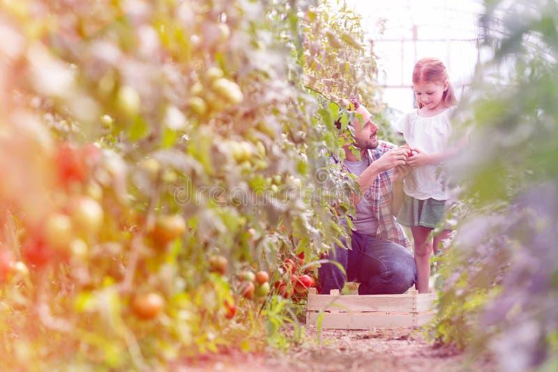 Vader die organische tomaat geven aan dochter bij landbouwbedrijf stock afbeelding