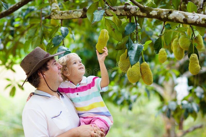 Vader en kind die jackfruit van boom plukken royalty-vrije stock afbeeldingen