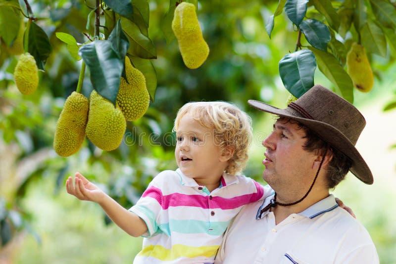 Vader en kind die jackfruit van boom plukken royalty-vrije stock afbeelding