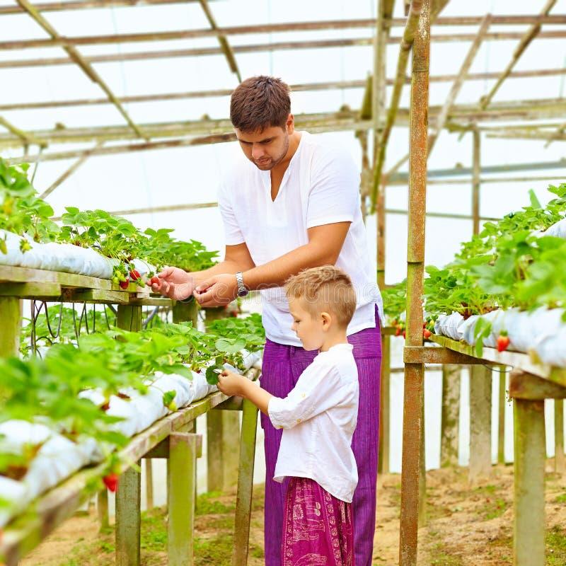 Vader en zoons het oogsten aardbeien in serre royalty-vrije stock afbeeldingen
