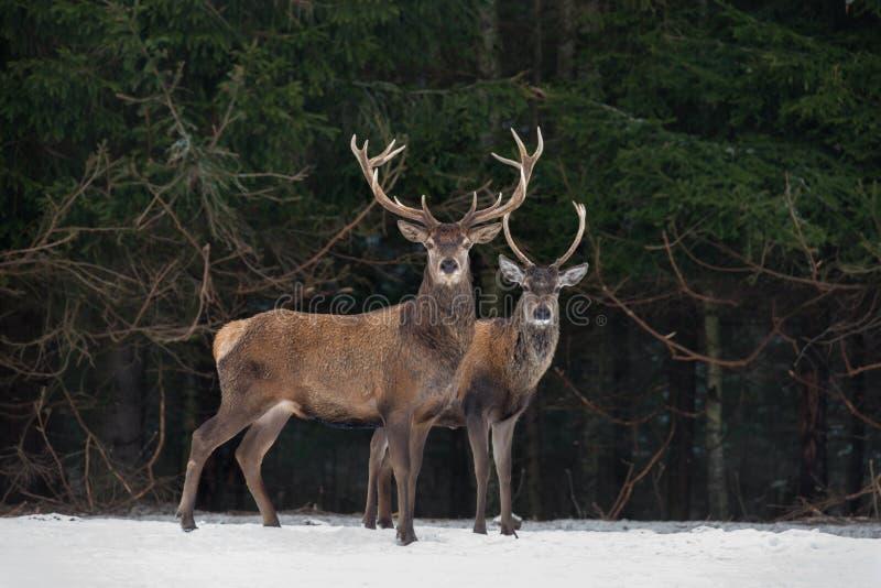 Vader And Son: Twee Generaties van Edel Hertenmannetje Tribune van twee de Rode Hertencervus Elaphus daarna de Winter Forest Wint stock fotografie