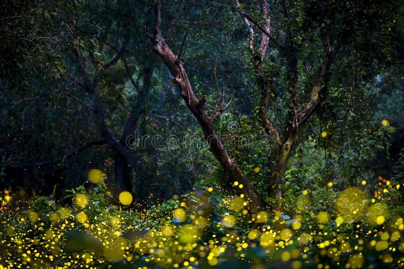 Vaga-lume que voam na floresta no crepúsculo imagens de stock