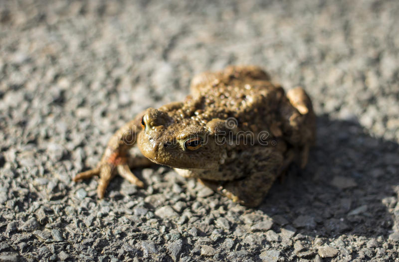 Vagabond frog royalty free stock photography