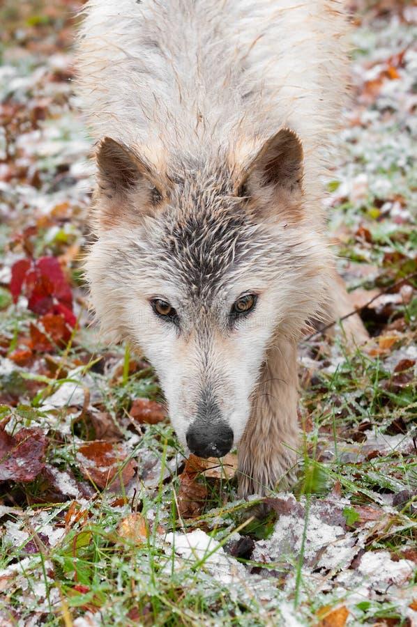 Vagabundeo ascendente del cierre rubio del lobo (lupus de Canis) imagen de archivo
