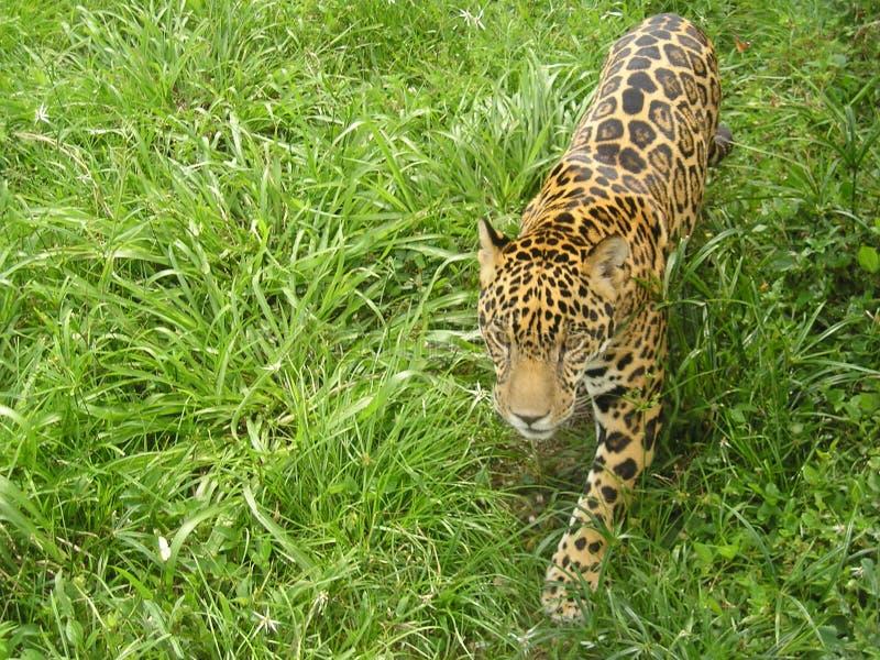 Vagabundeo de Jaguar fotografía de archivo