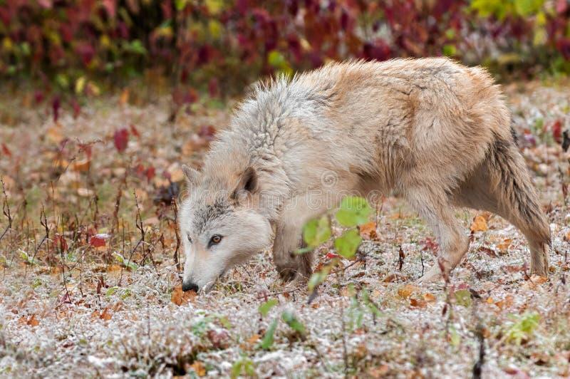 Vagabundeo rubio del lobo (lupus de Canis) imágenes de archivo libres de regalías