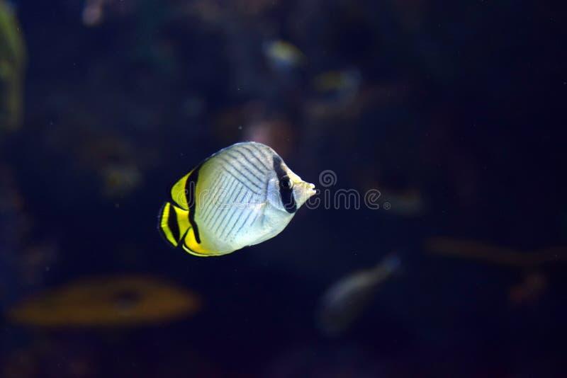 Vagabundus di Chaetodon del pesce della farfalla del vagabondo di vita di mare dentro l'acquario fotografia stock libera da diritti