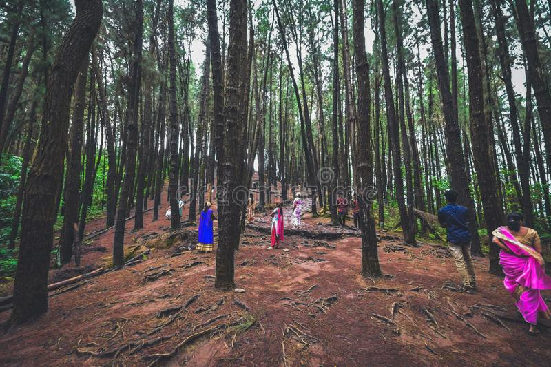 Pine Forest in Vagamon hills is one of the best tourist place in Kerala royalty free stock image