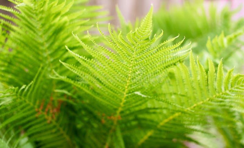 Vage achtergrond van de groene bladeren van de struisvogelvaren stock fotografie