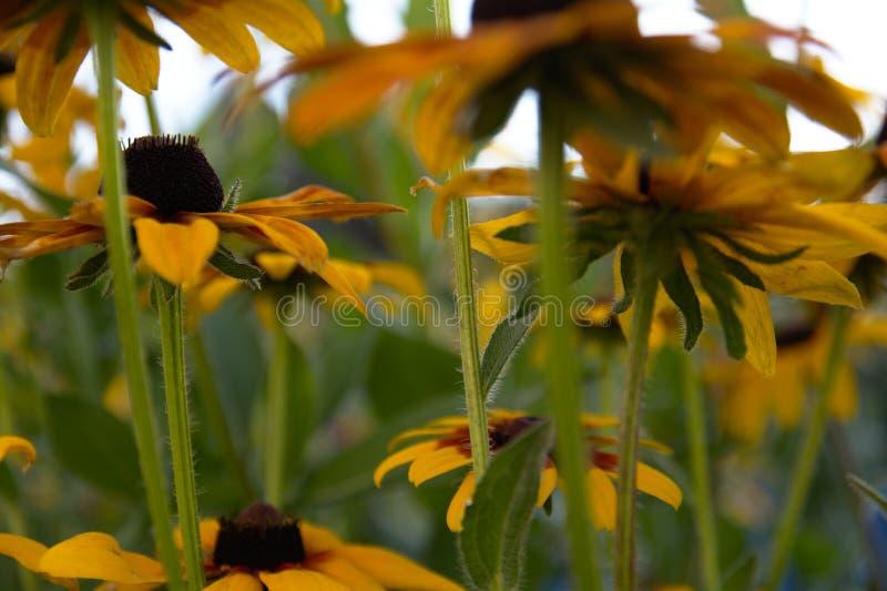 Vage foto voor de achtergrond met een groep gele bloemen van Rudbeckia waardoor het avondzonlicht doordringt royalty-vrije stock afbeelding