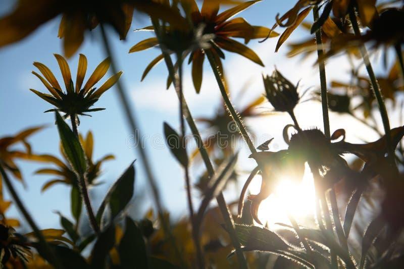 Vage foto voor de achtergrond met een groep gele bloemen van Rudbeckia waardoor het avondzonlicht doordringt royalty-vrije stock foto