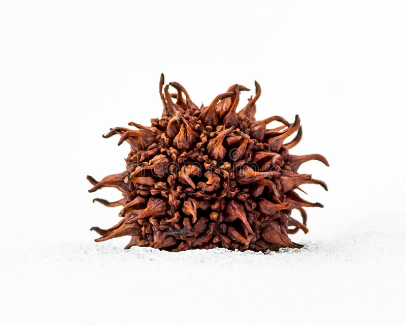 Vagem da semente da goma doce fotografia de stock