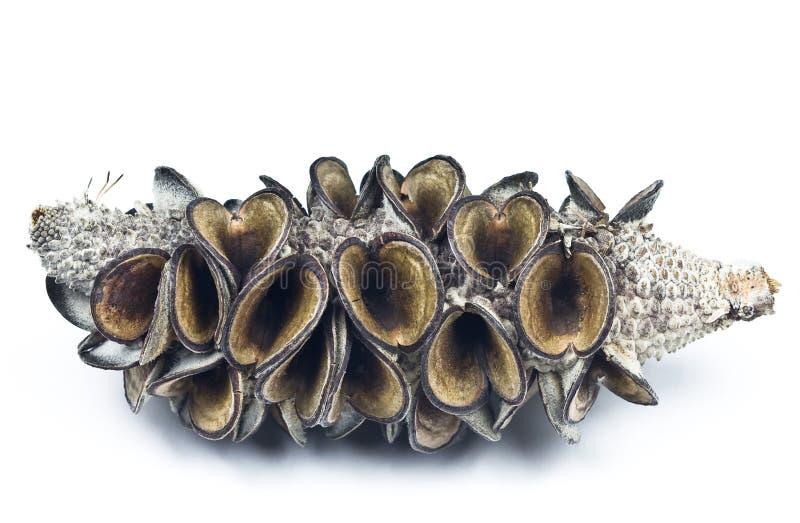 Vagem da semente do Banksia foto de stock royalty free