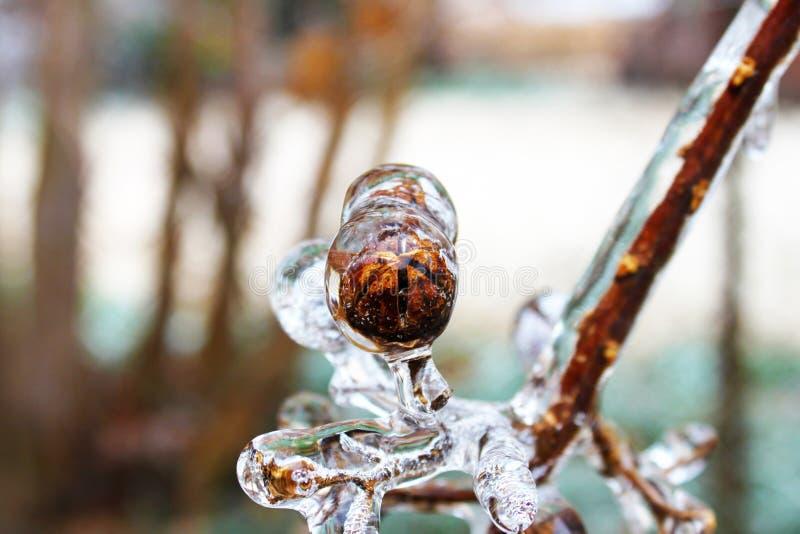 Vagem da semente da murta de crepe encerrada no gelo durante o inverno foto de stock