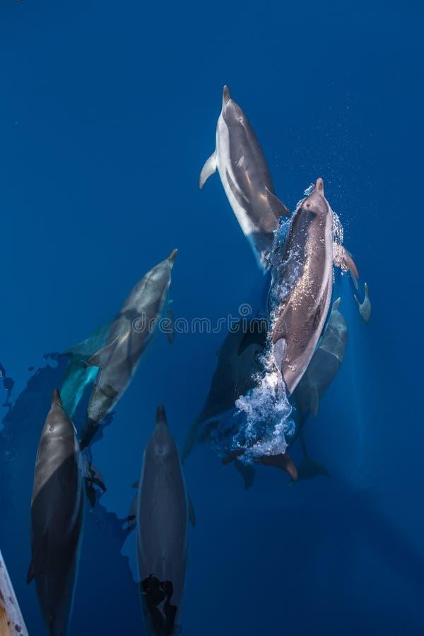 Vagem de golfinhos listrados imagens de stock