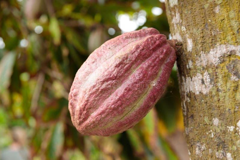 Vagem do cacau que cresce da árvore em Cuba imagem de stock royalty free