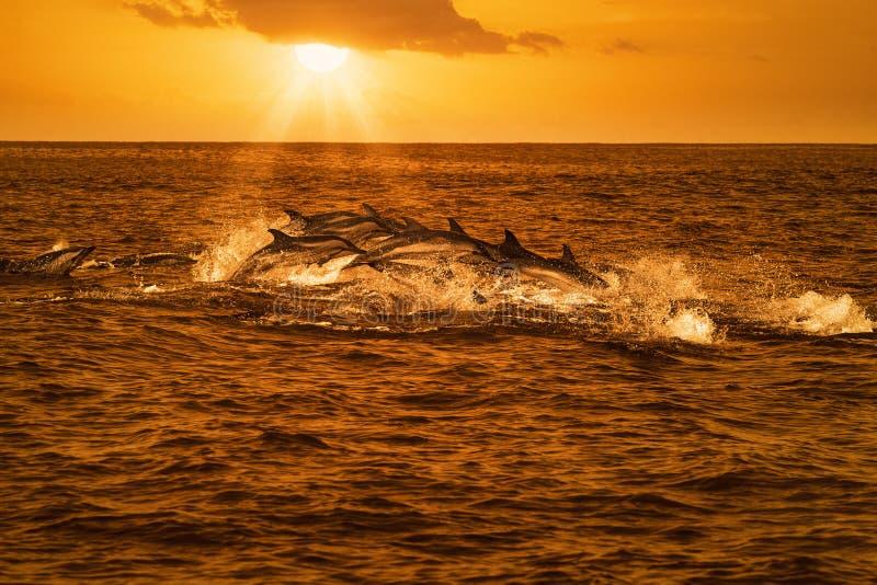 Vagem dos golfinhos que viajam no oceano imagem de stock royalty free