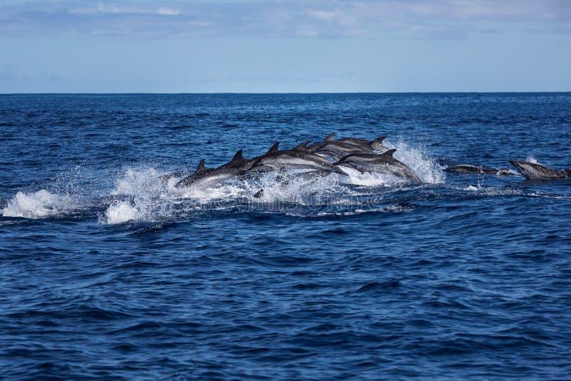 Vagem dos golfinhos que viajam no oceano imagens de stock royalty free