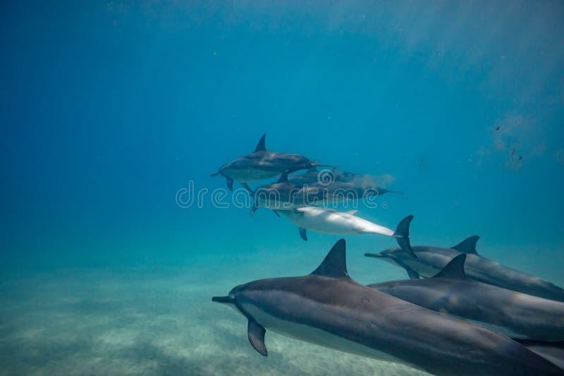 Vagem dos golfinhos selvagens subaquáticos foto de stock royalty free